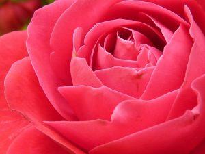 rose-7771_1280