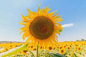 sunflower-1507956_1920